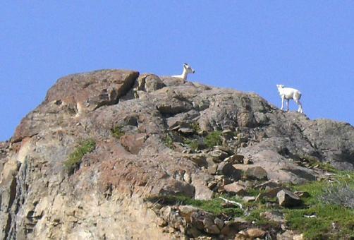 502_Mt._Goats