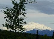 480_Denali_with_disiduous_tree