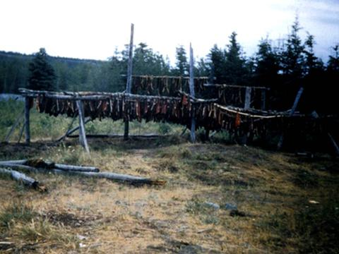 Chum salmon drying on birch fish racks circa 1948