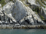 Kittiwakes rookery at Whittier