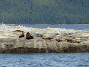 Sealions in Prince William Sound