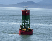Sealions hauled out in Stephens Passage
