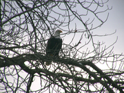 Eagle  in branches side view
