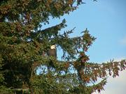 Eagle in evergreen
