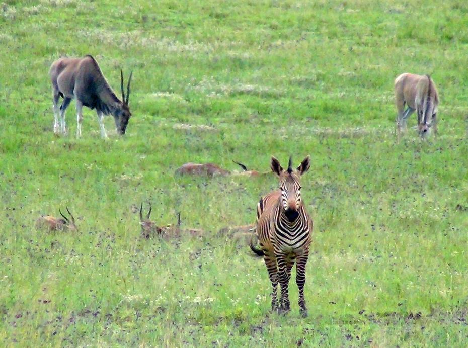 Zebra & guests