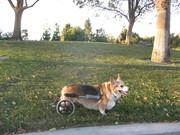 Wheeled Corgis