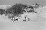 Bear, Tasha and Linus on the dune