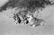 Bear, Tasha and Linus sitting still on a dune