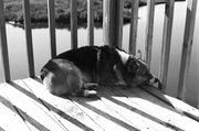 Bear - Snoozing by the Sound