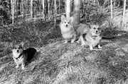 Tasha, Linus and Bear Enjoying the Cedar Pile
