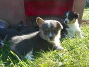 pups out door 5weeks 033