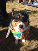 Bella at the Woofstock Brews Bands and Barks!