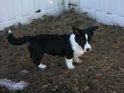 Oscar playing in the yard