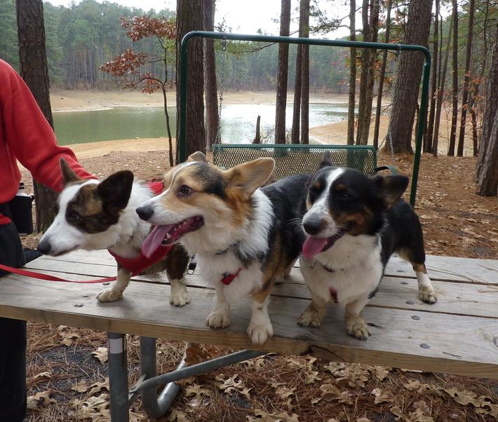 The Three Corgiteers, hiking at Red Top Mountain