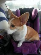 Ein's favorite way to ride in the car!