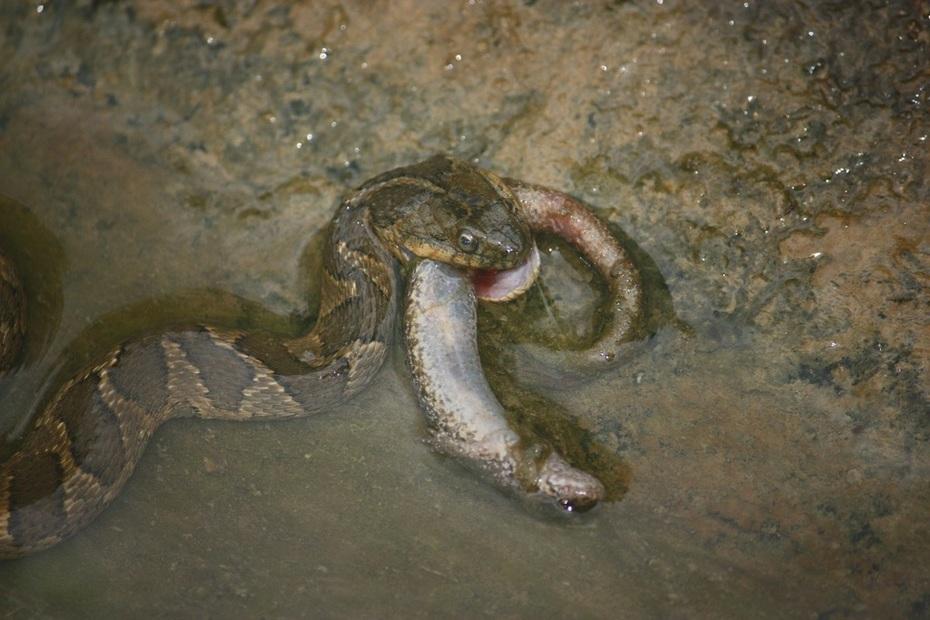 snakeoutback