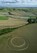 Jubilee Plantation Near Cherhill Wiltshire 15th August 2011 Wheat