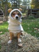 Halloween 2010-Sheep!