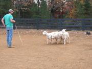 Corgi Herding Instinct Testing at Canine Ranch