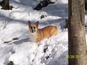 Do all corgis love snow?