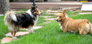 Herding Dogs 4Evah