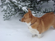 Lucy Dec 2012 Meditating Corgi