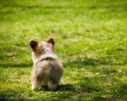 Corgi butts are the best butts