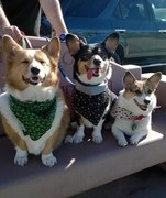 harbor corgis