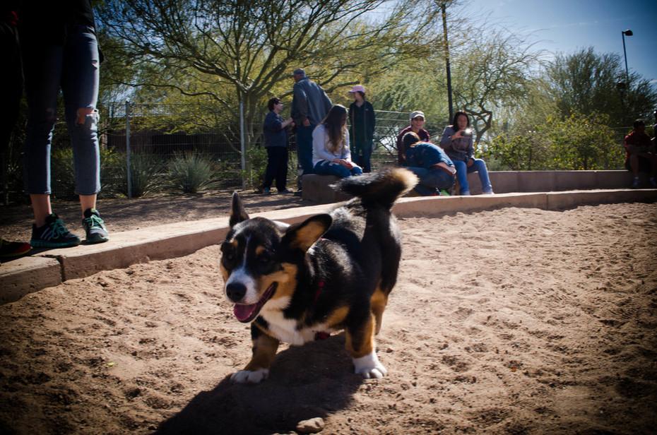ArizonaCorgiMeet BATCH1 (16)