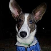 aonghus puppy