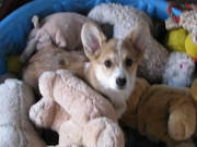 Nutmeg enjoying her toys
