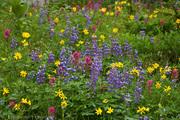 meadow-wildflowers-Naches-Peak-EdBook1043