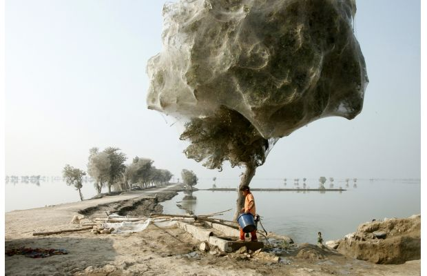 Sindh Pakistan When Millions of Spiders Made their shelter on trees