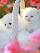 Cute_White_Kittens
