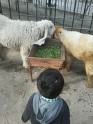 Affan khan (bhanja) with sheeps