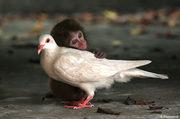 Macaque n Pigeon