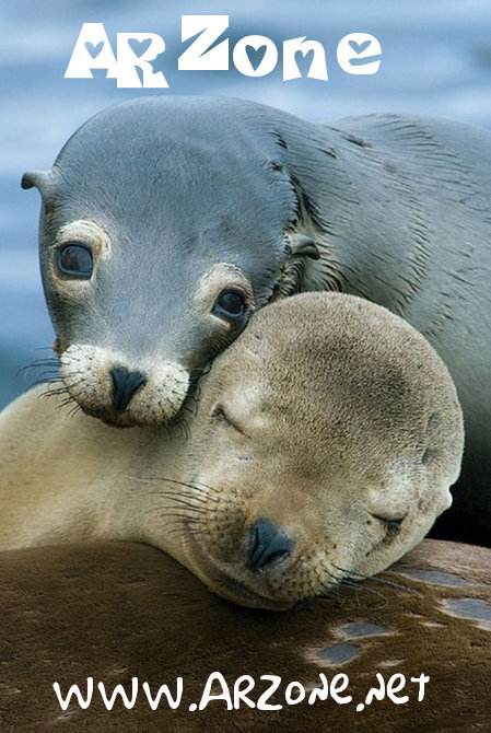 ARZone Cal Sea Lions