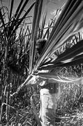 fidel-castro-cortando-cana-5-marzo-1961