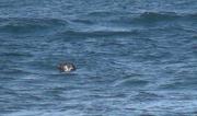 Un phoque, An aod meur, Ouessant