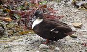 Canard noir croisé avec col vert, dans le port d'Ouessant