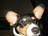 Masked Corgis