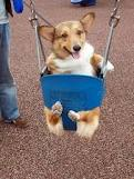 Corgis that love playing at the park(and home)