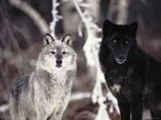 Save America's Wolves