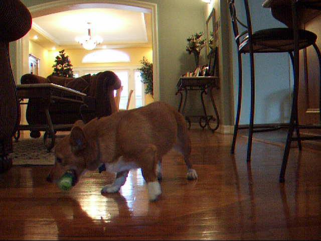 Tabi Playing Fetch