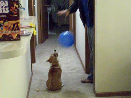 How a Corgi plays with a balloon