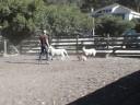 Mochi's HerdingTrial 1