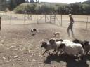 Mochi's Herding Test 2b