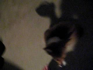 Vicious Corgi Pup