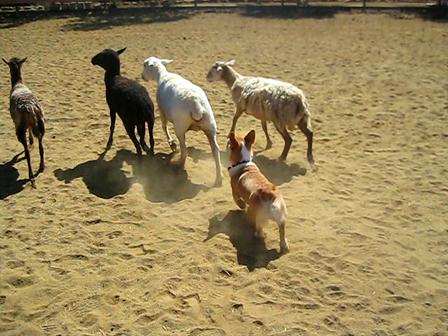 Spencer on his first herding run