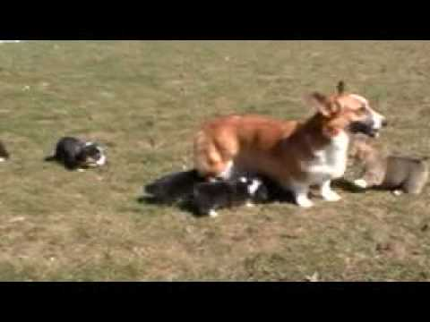 Wendt Worth Corgis 4.5 wks old puppies born Valentines Day by Kiara and Baron